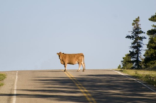 Brown cow standing in the middle of the road.